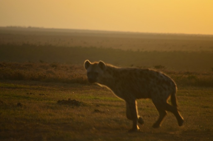 Spotted hyena at sunset